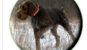fort detroit german wirehaired pointer club